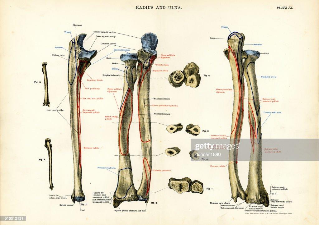 Human Anatomy Radius And Ulna Stock Illustration | Getty Images