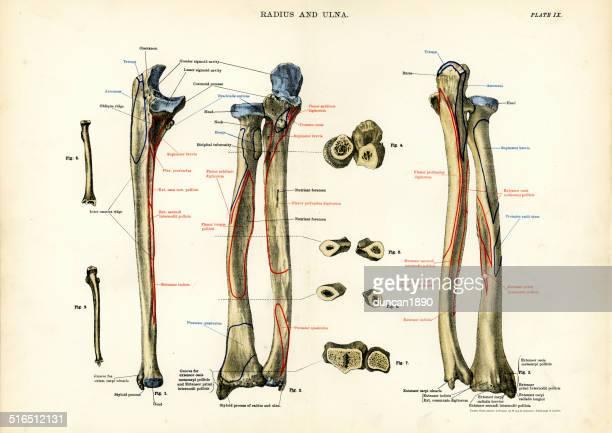 人体-ラディウスと尺骨 - 人体図点のイラスト素材/クリップアート素材/マンガ素材/アイコン素材