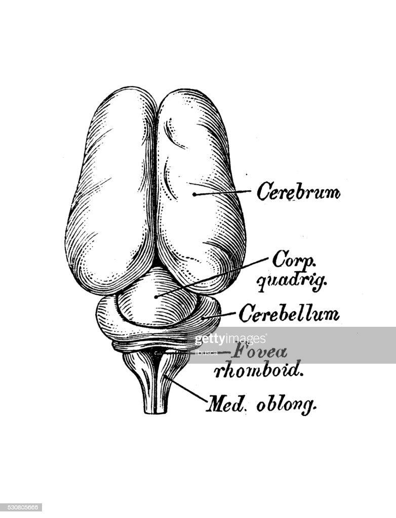 Human Anatomy Scientific Illustrations 3 Months Embryo Brain Stock ...
