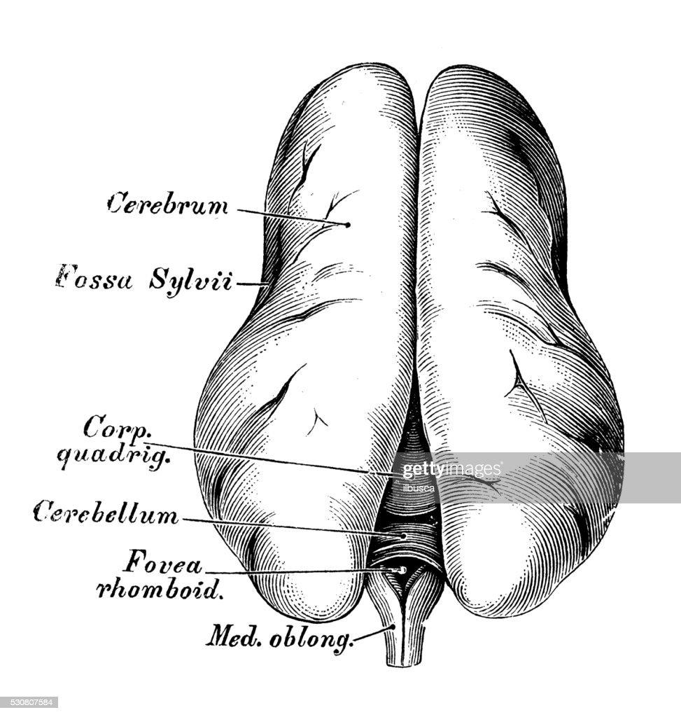 Human Anatomy Scientific Illustrations 5 Months Embryo Brain Stock ...