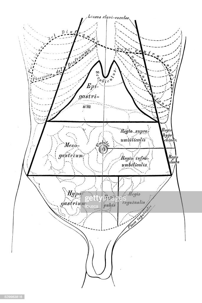 human anatomy scientific illustrations abdomen map stock Kidney Diagram human anatomy scientific illustrations abdomen map stock illustration