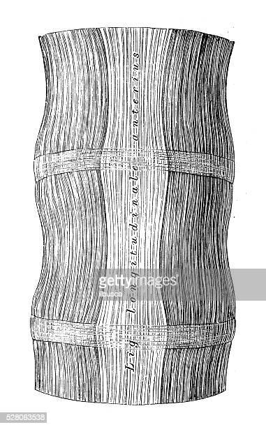 人体解剖学の科学的イラスト:前縦靱帯(頚椎) - 靭帯点のイラスト素材/クリップアート素材/マンガ素材/アイコン素材