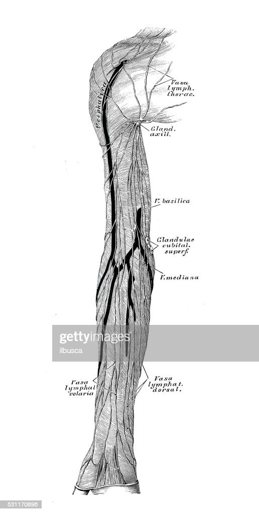Human Anatomy Scientific Illustrations Arm Lymphatic Vessel Stock ...