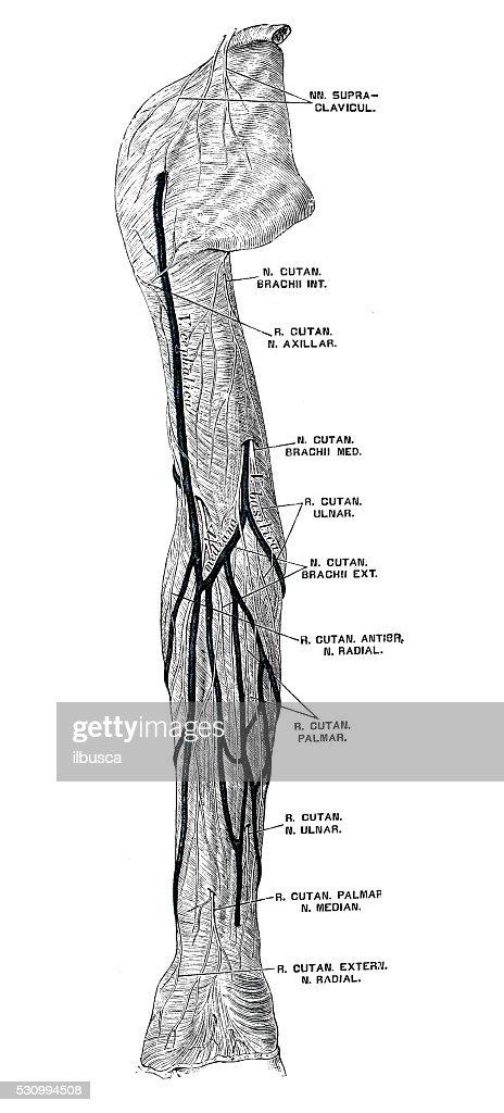 Human Anatomy Scientific Illustrations Arm Nerves Stock Illustration