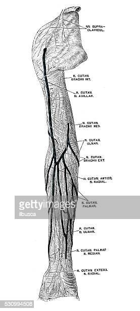 stockillustraties, clipart, cartoons en iconen met human anatomy scientific illustrations: arm nerves - menselijke arm