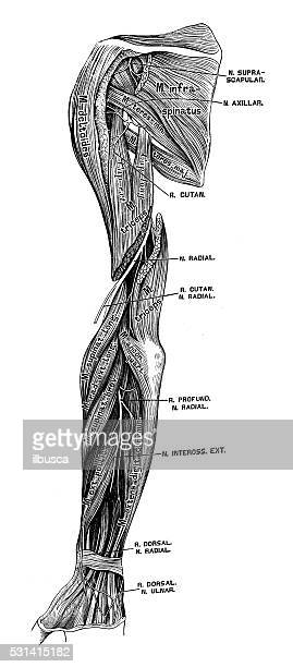 human anatomy scientific illustrations: arm nerves - forearm stock illustrations, clip art, cartoons, & icons