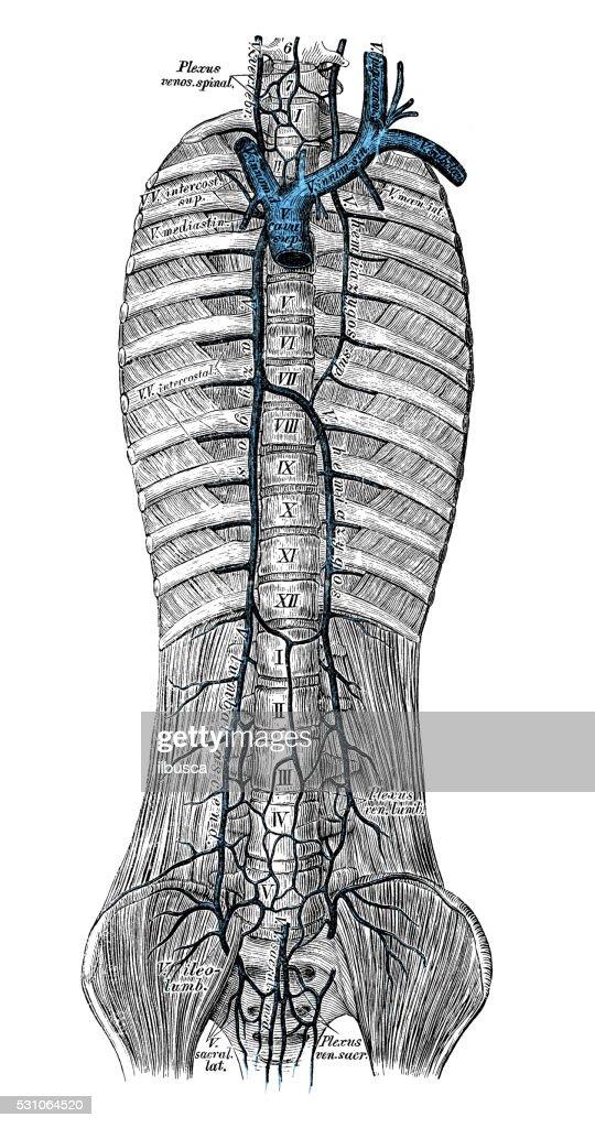 Human Anatomy Scientific Illustrations Azygos Vein Stock ...