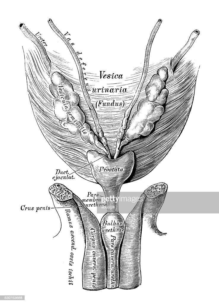 Human Anatomy Scientific Illustrations Bladder And Urethra Stock ...