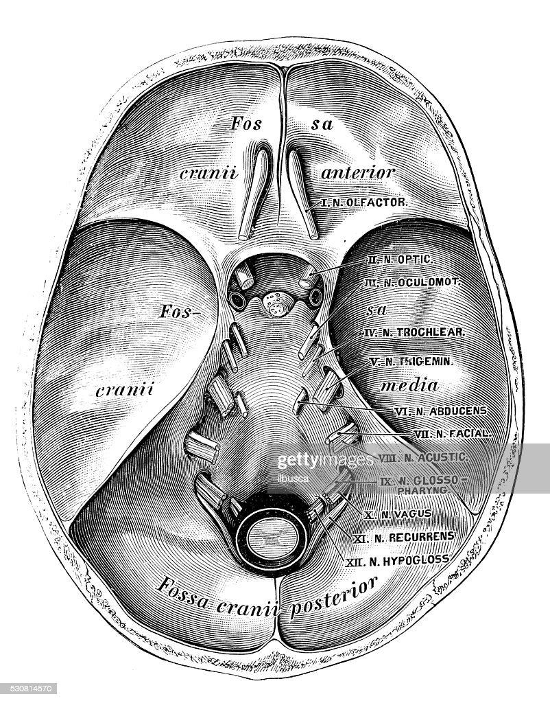 Human Anatomy Scientific Illustrations Bottom Cranium Cerebral ...