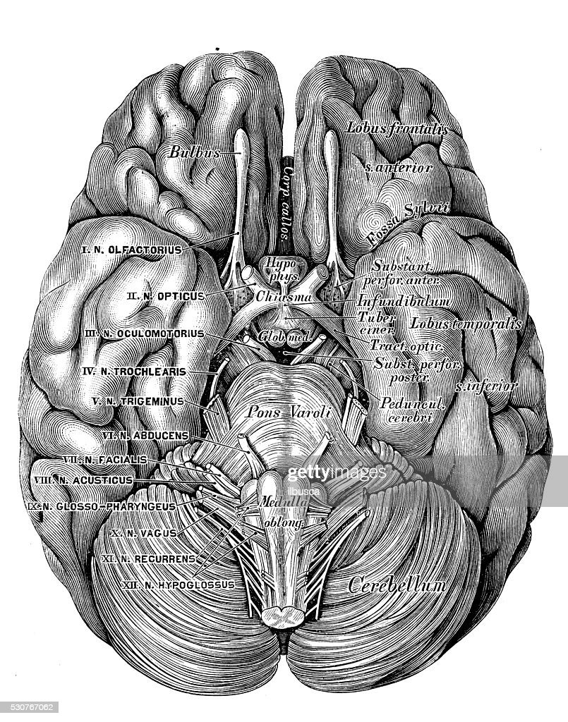 Human Anatomy Scientific Illustrations Brain Bottom View Stock