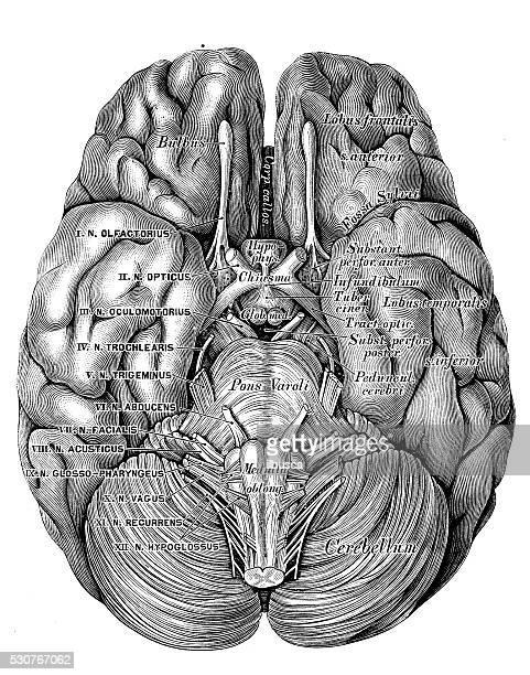 Human anatomy scientific illustrations: Brain bottom view