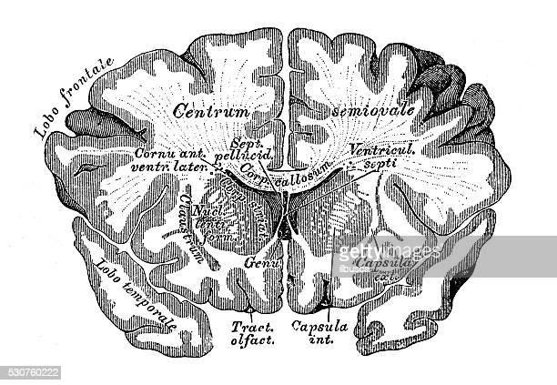 human anatomy scientific illustrations: brain section - cerebral hemisphere stock illustrations, clip art, cartoons, & icons