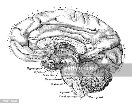 Human Anatomy Scientific Illustrations Brain Side View ...