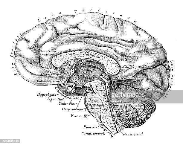 human anatomy scientific illustrations: brain side view - anatomy stock illustrations