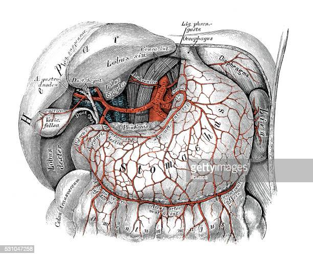 Celiac Artery Stock Illustrations And Cartoons Getty Images