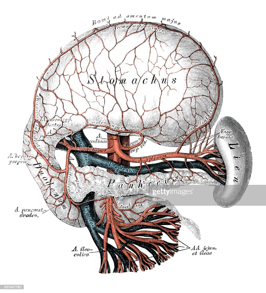 Human Anatomy Scientific Illustrations Celiac Artery Stock