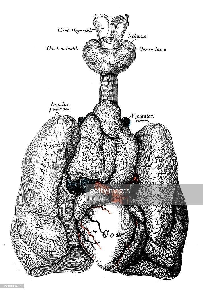 Ilustraciones Científicas De Anatomía Humana Niño Tórax órganos ...