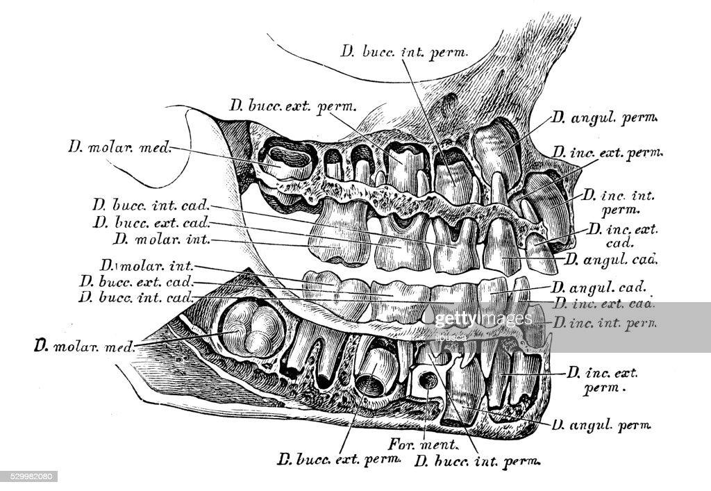 Human Anatomy Scientific Illustrations Deciduous Teeth Stock
