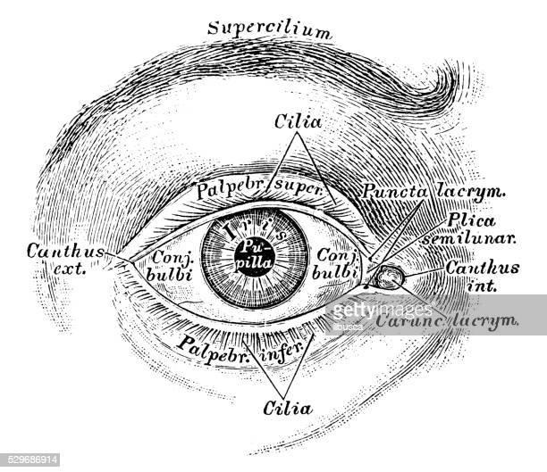 Human anatomy scientific illustrations: eye