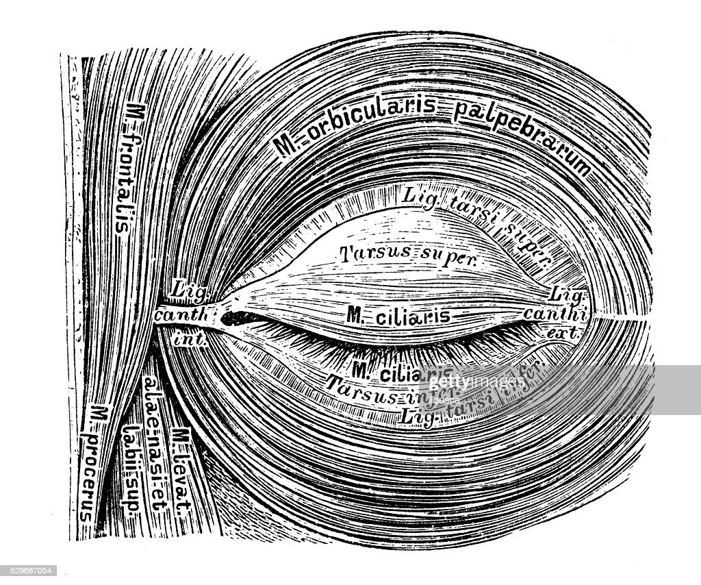 Human Anatomy Scientific Illustrations Eye Muscles Stock ...