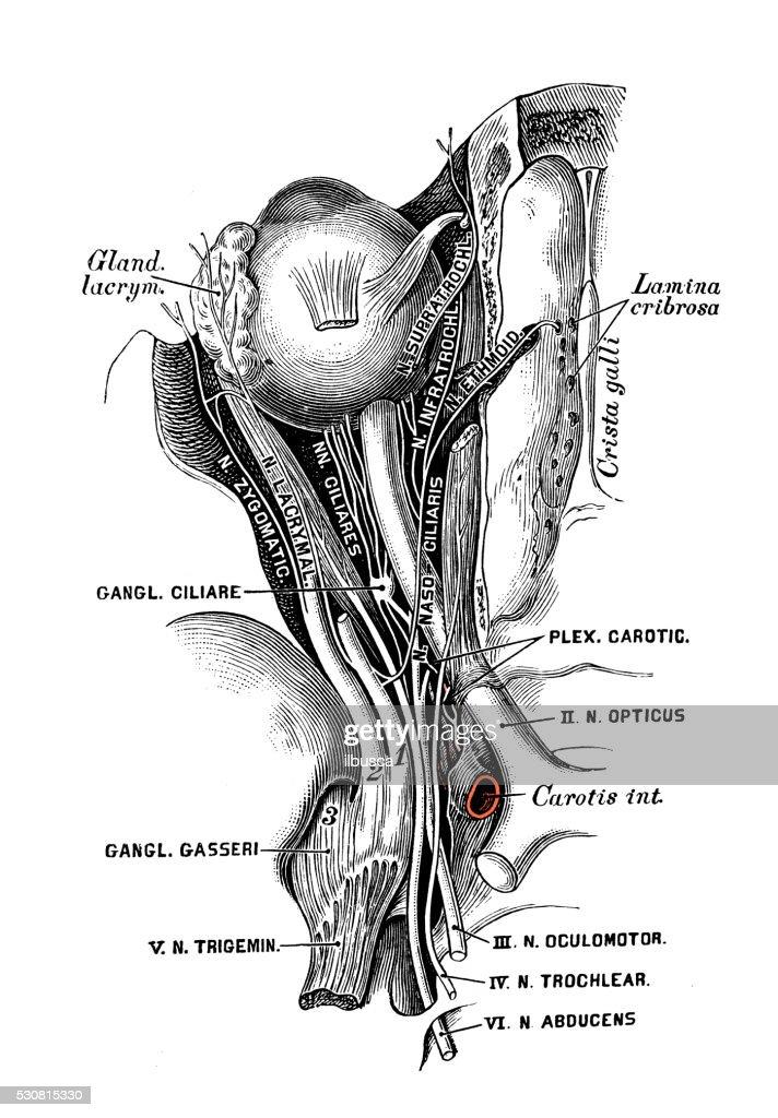 Human Anatomy Scientific Illustrations Eye Nerves Stock Illustration
