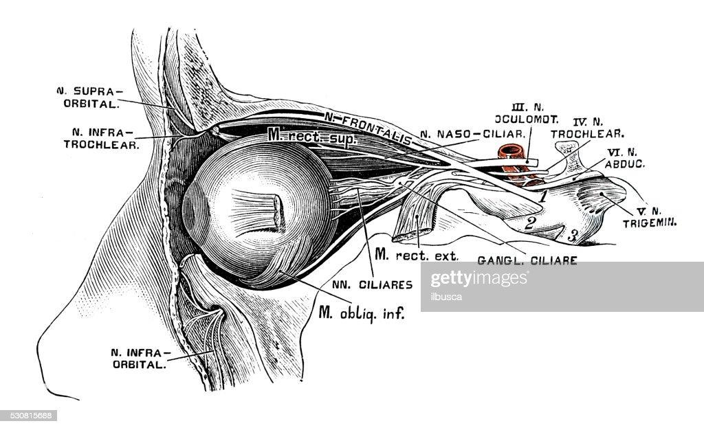 Human anatomy scientific illustrations: Eye nerves : stock illustration