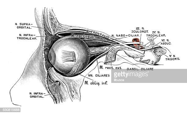 human anatomy scientific illustrations: eye nerves - human body part stock illustrations, clip art, cartoons, & icons