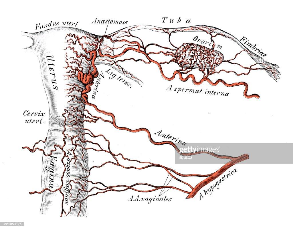 Human Anatomy Scientific Illustrations Female Genitals Arteries