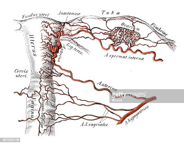 human anatomy scientific illustrations: female genitals arteries - female reproductive system stock illustrations