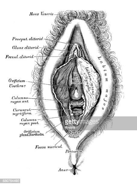 Human anatomy scientific illustrations: female reproductive organ