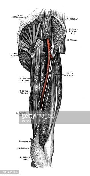 ilustraciones, imágenes clip art, dibujos animados e iconos de stock de ilustraciones científicas de anatomía humana : nervio femoral - hueso de la pierna
