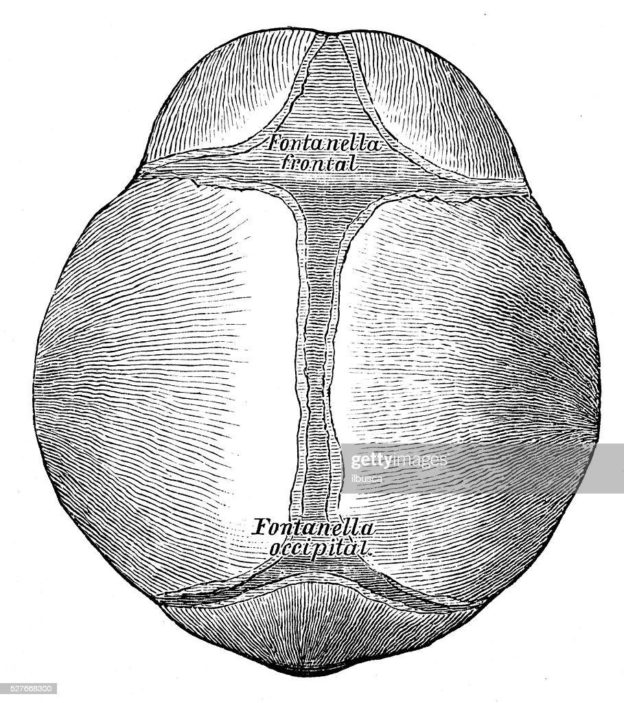 Ilustraciones Científicas De Anatomía Humana Feto De Cráneo ...