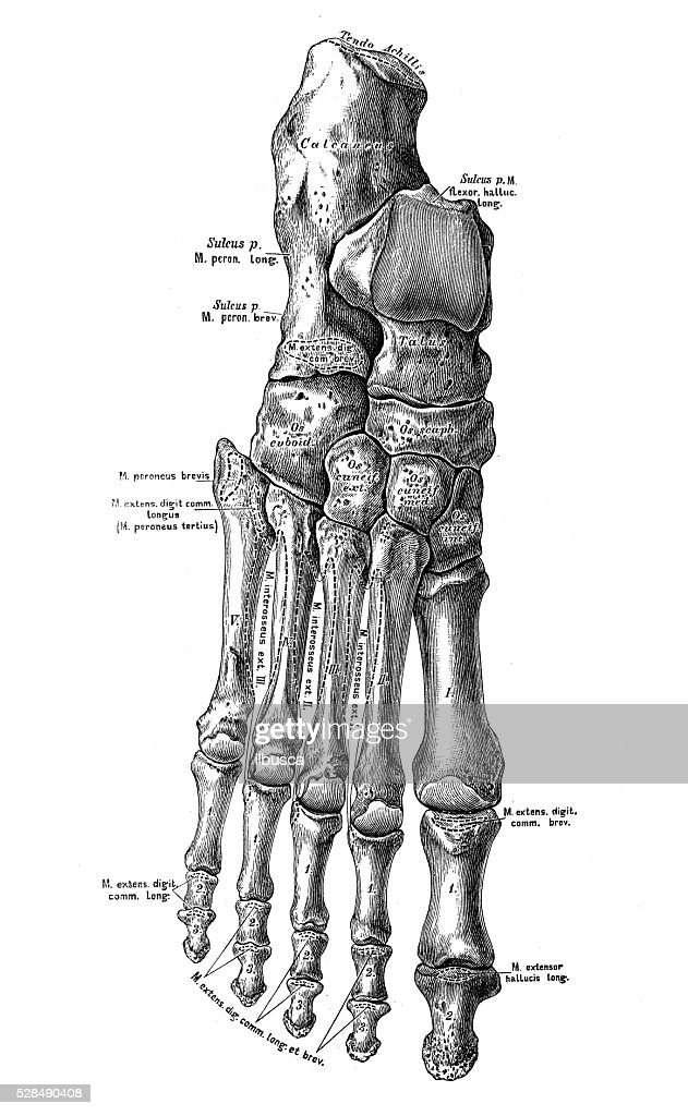 Human Anatomy Scientific Illustrations Foot Bones Stock Illustration ...