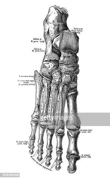 human anatomy scientific illustrations: foot bones - foot bone stock illustrations