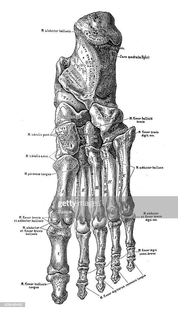 Human Anatomy Scientific Illustrations Foot Bones Stock Illustration
