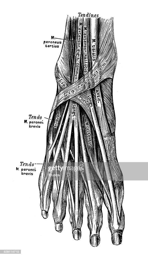Human Anatomy Scientific Illustrations Foot Muscle Stock