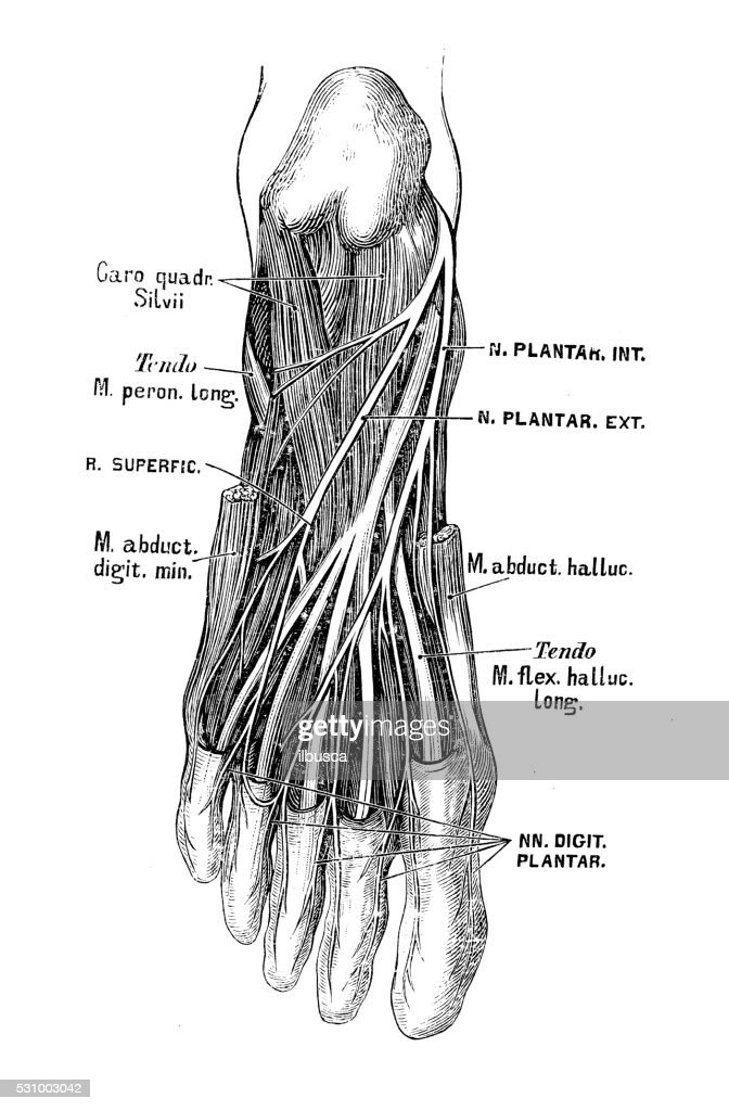 Human Anatomy Scientific Illustrations Foot Nerves Stock ...