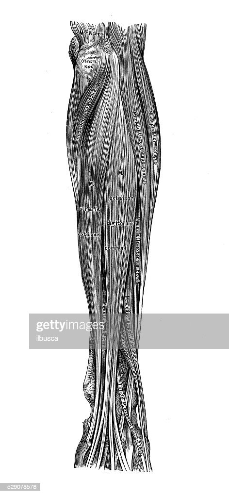 Human Anatomy Scientific Illustrations Forearm Muscles Stock
