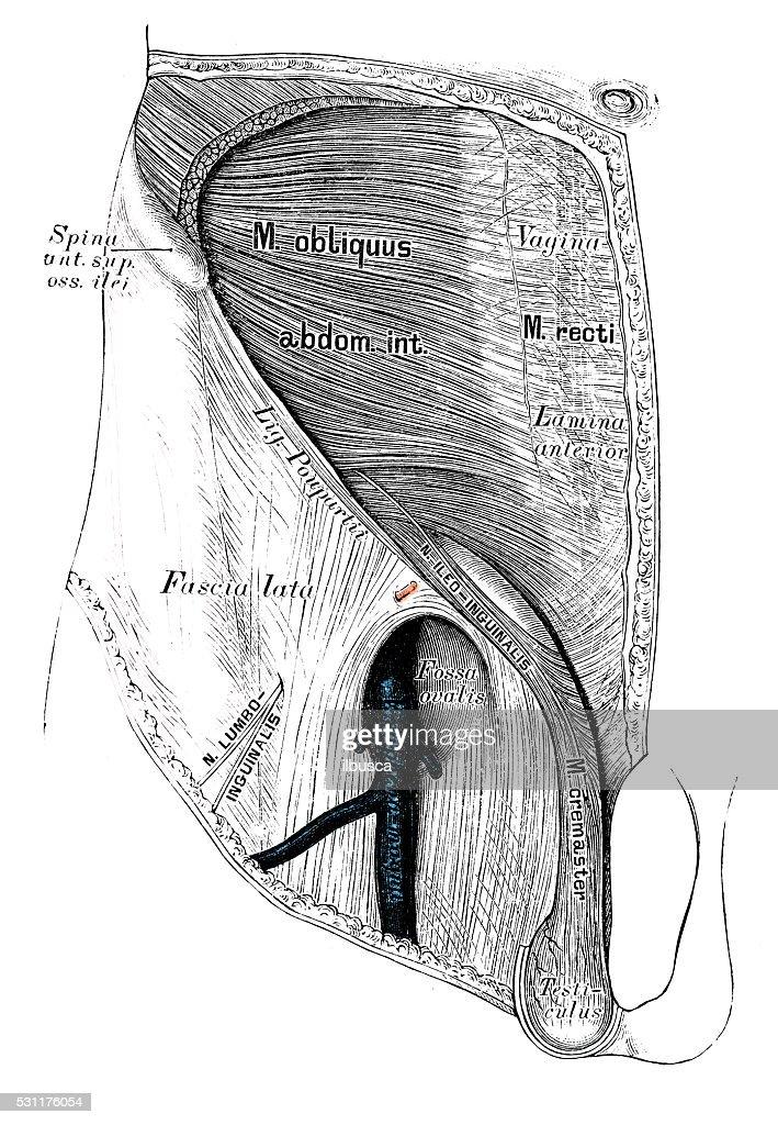 Human Anatomy Scientific Illustrations Groin Lymphatic Vessel Stock