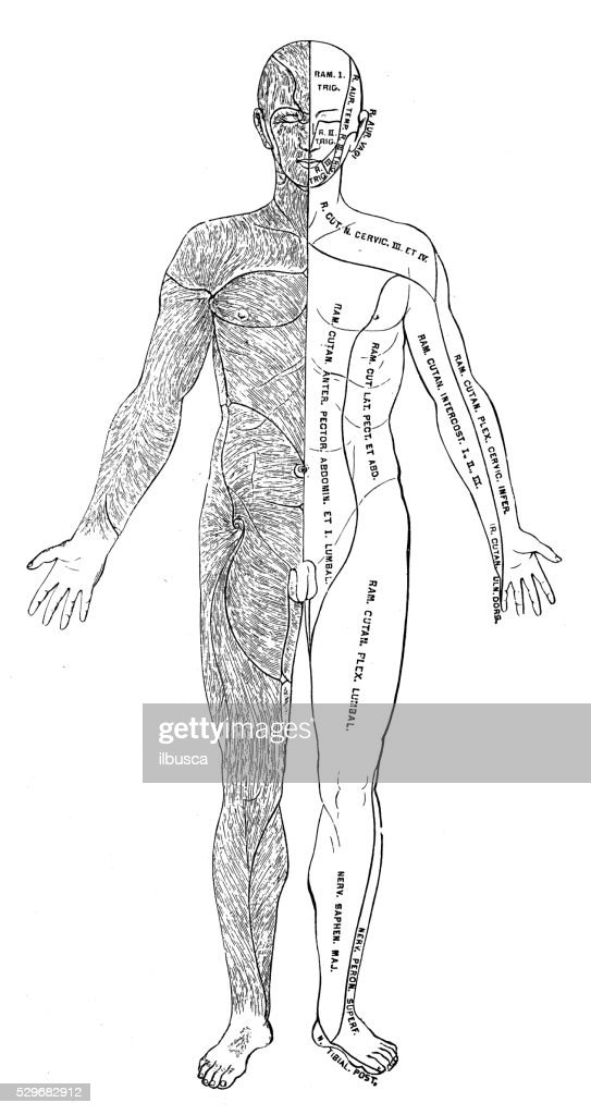 Human Anatomy Scientific Illustrations Hair Direction Human Body