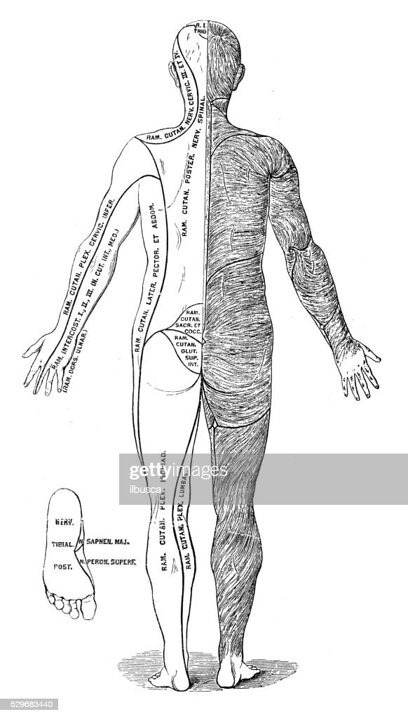 Human Anatomy Scientific Illustrations Hair Direction Human Body ...