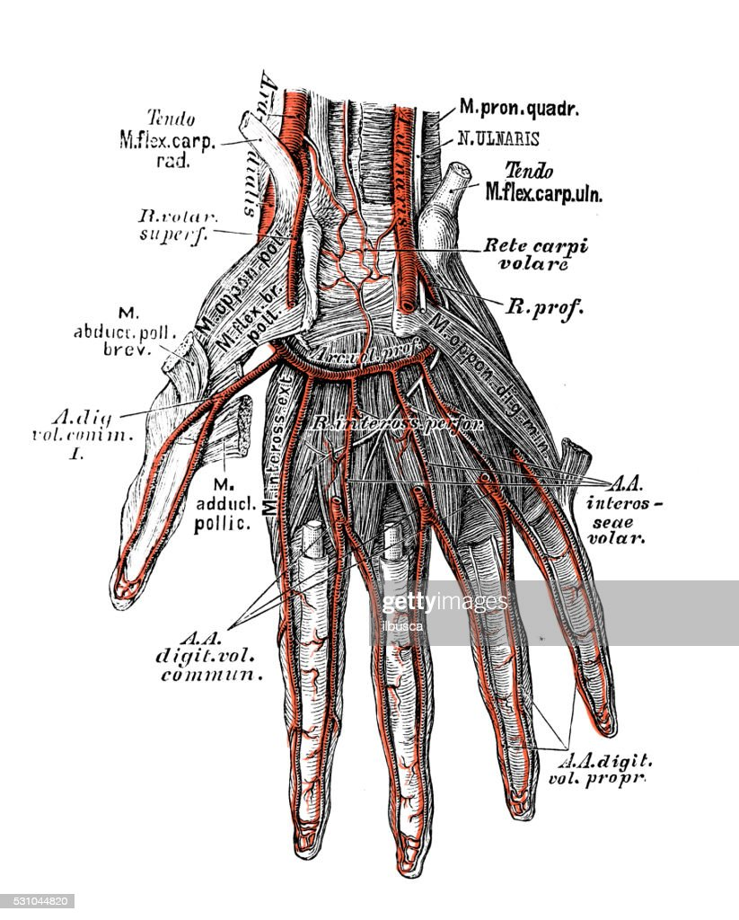 Human Anatomy Scientific Illustrations Hand Arteries Stock ...