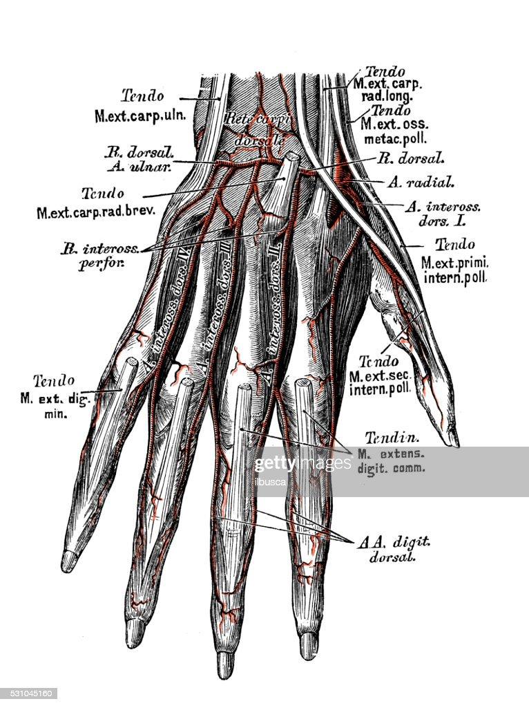 Human Anatomy Scientific Illustrations Hand Arteries Stock