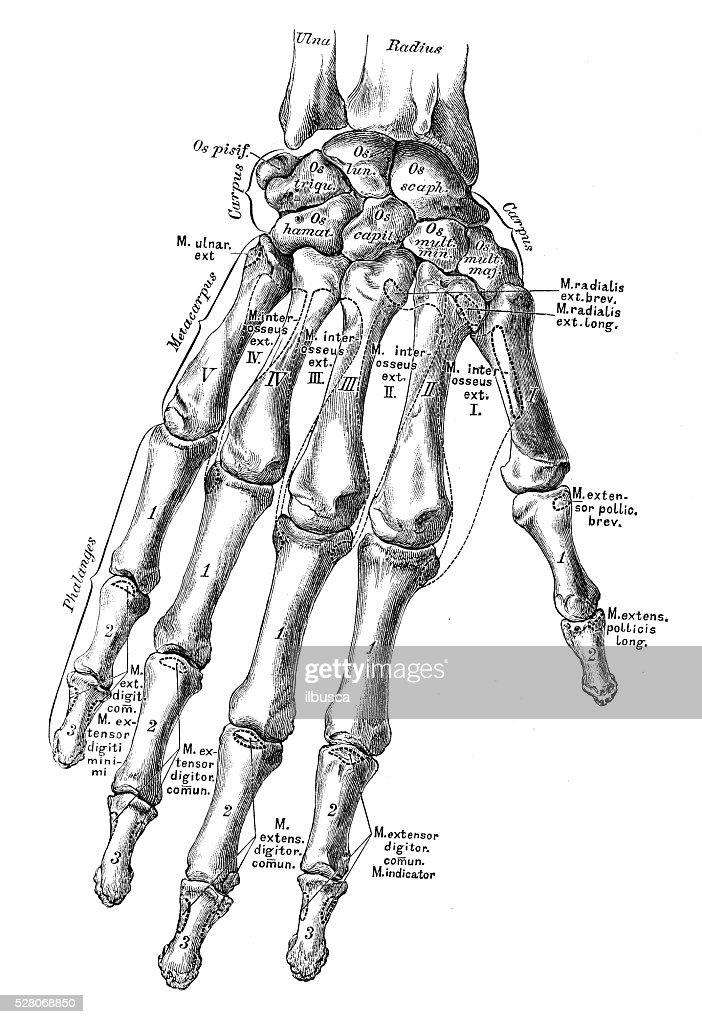 Human Anatomy Scientific Illustrations Hand Bones Stock Illustration