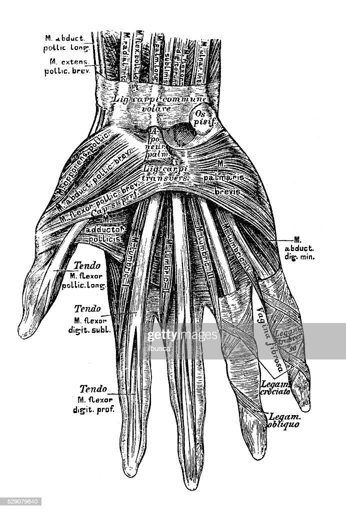 Human Anatomy Scientific Illustrations Hand Muscles Stock
