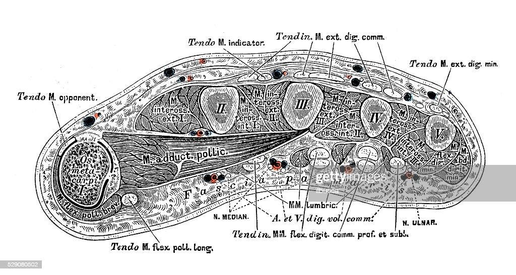 Human Anatomy Scientific Illustrations Hand Muscles Stock ...