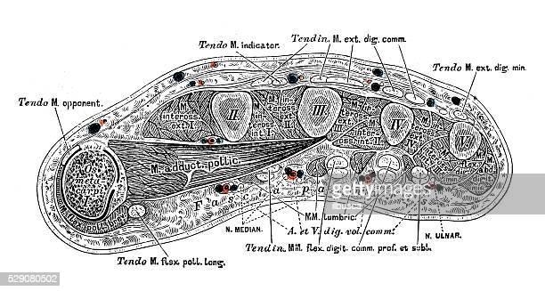 ilustraciones, imágenes clip art, dibujos animados e iconos de stock de ilustraciones científicas de anatomía humana: mano los músculos - músculo humano