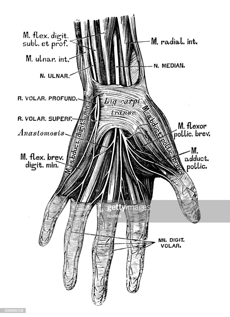 Human Anatomy Scientific Illustrations Hand Nerves Stock ...