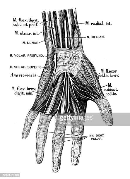 human anatomy scientific illustrations: hand nerves - wrist stock illustrations, clip art, cartoons, & icons