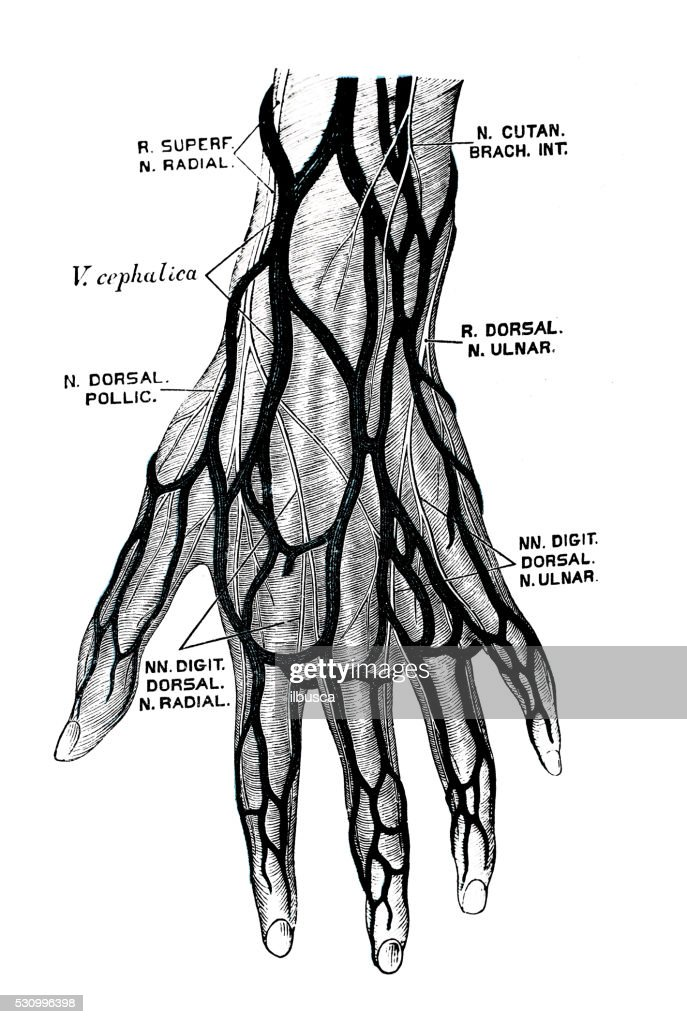 Human Anatomy Scientific Illustrations Hand Nerves Stock